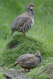 Red-legged partridge, Alectoris rufa Royalty Free Stock Photo