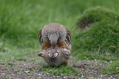 Red-legged partridge, Alectoris rufa Stock Photography