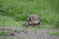 Red-legged partridge, Alectoris rufa Royalty Free Stock Photography