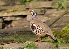 Red-legged Partridge - Alectoris rufa, Warwickshire Stock Image