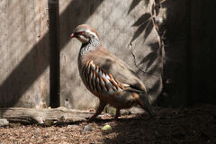 Red-legged partridge (Alectoris rufa). Stock Image