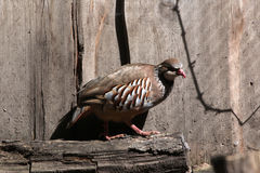 Red-legged partridge (Alectoris rufa). Stock Photo