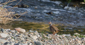 Red-legged Partridge at the river shore Stock Image