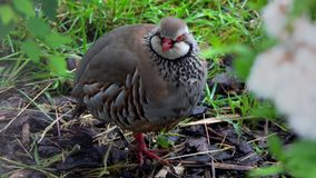 Red legged partridge bird resting on the ground. A red legged partridge is shown resting on the ground during the early evening in the Highlands of Scotland stock footage