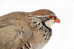 Red-legged partridge snuggled. On white background. Wildlife studio portrait Stock Photos