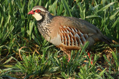 Red legged Partridge (Alectoris rufa). Royalty Free Stock Photos