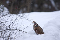 Red-legged Partridges (Alectoris rufa) in the snow. Two Red-legged Partridges (Alectoris rufa) in the snow, sometimes known as French Partridge, to distinguish Royalty Free Stock Photos