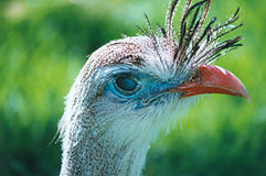 Red-legged Seriema. A red-legged seriema, close-up from the head Stock Photography