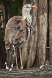 Red-legged seriema Royalty Free Stock Photos