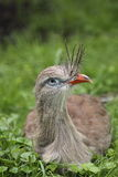 Red-legged seriema Royalty Free Stock Image