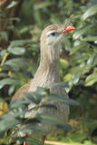 Red-legged seriema Stock Images