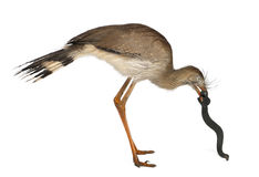 Red-legged Seriema Stock Photo