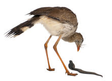 Red-legged Seriema Stock Photos