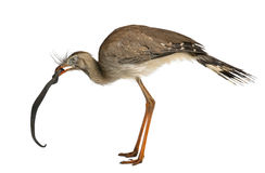Red-legged Seriema Royalty Free Stock Photo