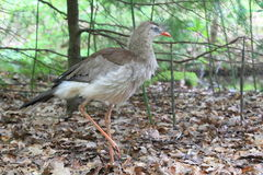 Red-legged Seriema Royalty Free Stock Images