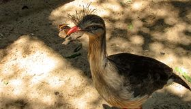 Red-Legged Seriema, also known as Crested Cariama Cariama Crist. A Red-Legged Seriema, also known as Crested Cariama Cariama Cristata, eating a butterfly Royalty Free Stock Photography