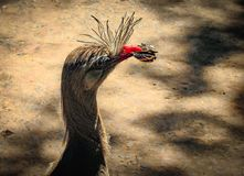 Red-Legged Seriema, also known as Crested Cariama Cariama Crist. A Red-Legged Seriema, also known as Crested Cariama Cariama Cristata, eating a butterfly Royalty Free Stock Image