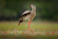 Free Red-legged Seriema, Cariama Cristata, Pantanal, Brazil. Typical Bird From Brazil Nature. Bird In The Grass Meadow, Long Red Leg. T Stock Images - 110446534