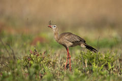 Red-legged seriema,  Cariama cristata Royalty Free Stock Images