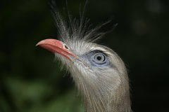 Red-legged seriema, Cariama cristata Stock Photography