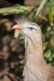 Red legged seriema. Royalty Free Stock Photography