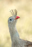 Red legged Seriema close up of head Royalty Free Stock Images