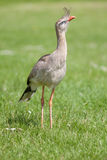 Red legged seriema or crested cariama bird. Full body cose up on Royalty Free Stock Image