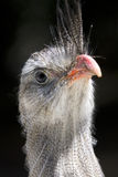 Red-legged seriema / Crested Cariama / Cariama cri Stock Image