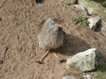 Free Red Legged Seriema Looking Out At The World Stock Photos - 144595483