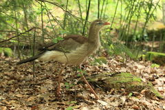 Red-legged seriema Royalty Free Stock Photography