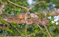 Red-legged Sun Squirrel Royalty Free Stock Images