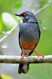 Red legged Thrush Stock Photos