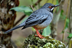 Red legged Thrush Royalty Free Stock Photography