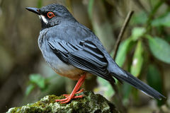 Red legged Thrush Stock Image