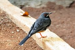 Red-legged thrush with red eye standing on a ground. Havana, Cuba stock photo