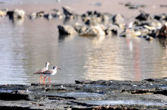 Red legs birds. Two birds with red legs are sits on coastline Royalty Free Stock Image