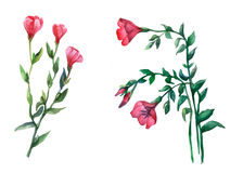 Red Lein, flowering flax Watercolor illustration on white background. Stock Photo