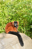 Red lemur Royalty Free Stock Photography