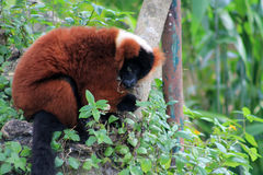 Red lemur eating Stock Images