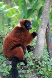 Red lemur eating Stock Photo