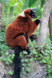 Red lemur eating Royalty Free Stock Photo