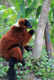 Red lemur eating Royalty Free Stock Image