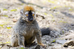 Red lemur (Eulemur rufus). Red or rufous brown lemur (Eulemur rufus) on the ground stock photography