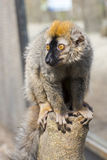 Red lemur (Eulemur rufus) Stock Images
