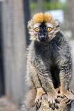 Red lemur (Eulemur rufus). Red or rufous brown lemur (Eulemur rufus) is sitting on a tree stock photos