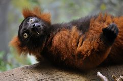 Red lemur monkey. This picture is a representation of a red lemur monkey laying down on a tree Stock Images