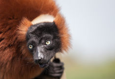 Red Lemur Stock Photos