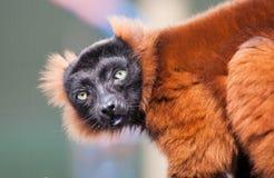 Red Lemur Stock Photography