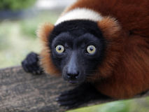 Red Lemur Stock Photography