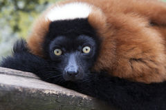 Red Lemur Royalty Free Stock Images